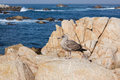 Monterey bay seagull a resting on a rock in scenic california Stock Images