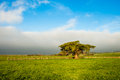 Monterey cypress lone tree in grassy meadow Royalty Free Stock Images