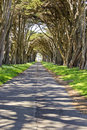 Monterey cypress tree tunnel Royalty Free Stock Photo