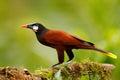 Montezuma Oropendola, Psarocolius montezuma, portrait of exotic bird from Costa Rica, brown with black head and orange bill, clear