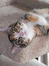 Month old torbie w white kitten lying on back a with female lies her head hanging over the edge of her beige carpet bed looking Stock Images