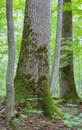 Monumental maple trees in summr Bialowieza Forest Stock Images