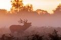 Moody silhouette of Red Deer stag Cervus elaphus  bugling Royalty Free Stock Photo