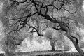Moody trees in black and white gnarly twisted softened to create mystic look image Stock Image