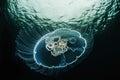 Moon jellyfish, Aurelia aurita in sea. Royalty Free Stock Photo