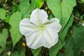 Moonflower. Royalty Free Stock Photo
