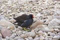 Moorhen adult on a pebbly beach Royalty Free Stock Photo