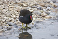 Moorhen adult on pebles by an icy pool Royalty Free Stock Images