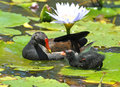 Moorhen common with a chick in plettenberg bay south africa Royalty Free Stock Photos