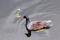 Moorhen in lake swimming a south florida park Stock Photography