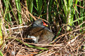 Moorhen in nest a male of his Stock Photography