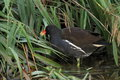 Moorhen on water looking for food next to grass Stock Images