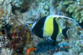 Moorish idol Stock Images