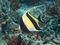 Moorish idol in bohol sea phlippines islands Stock Photography