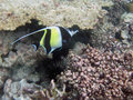 Moorish idol fish Royalty Free Stock Photos