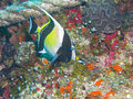 Moorish Idol, Great Barrier Reef, Australia Royalty Free Stock Photo