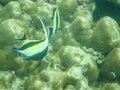 Moorish idol tropical fish mu ko lanta marine park thailand Stock Image