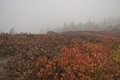 Moorland and bilberry growth on misty vysoky kamen hill in krusne hory day mountains with bilbery Stock Images