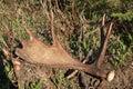 Moose antler shed Royalty Free Stock Photo