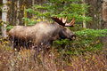 Moose with antlers alaska usa male bull big Stock Photography