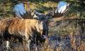 Moose Bull In Alaska