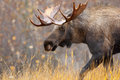 Moose bull alaska usa male with big antlers Stock Photo