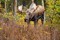 Moose bull alaska usa male with big antlers Royalty Free Stock Images