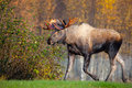 Moose bull male alaska usa with big antlers Royalty Free Stock Images