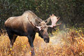 Moose bull male alaska usa with big antlers blowing steam Royalty Free Stock Images