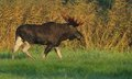Moose bull walking in the meadow Royalty Free Stock Photo