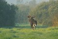 Moose bull walking in the morning Stock Photos