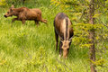 Moose Calf and Cow Royalty Free Stock Photo