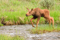 Moose Calf Crossing Stream Royalty Free Stock Images