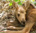 Moose calf a lying under treea Royalty Free Stock Images