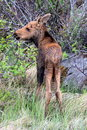 Moose calf separated from its mother Royalty Free Stock Photography