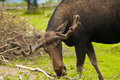 Moose close up portrait of male munching branches Stock Photo
