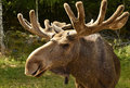 Moose closeup of a in natural area Royalty Free Stock Photo