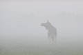 Moose cow in the fog Royalty Free Stock Photo