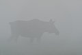 Moose cow in fog Royalty Free Stock Photo