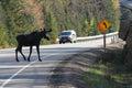 Moose Crossing Road Royalty Free Stock Photo