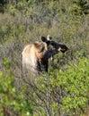 Moose at Denali National Park Royalty Free Stock Photo