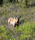 Moose at Denali National Park Royalty Free Stock Photo