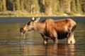 Moose at Glacier National Park Royalty Free Stock Photo