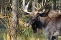 Moose In Nature