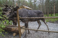 From moose ranch in ed all the photos are shot dalsland dals sweden Royalty Free Stock Images