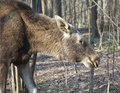 Moose in a spring forest Stock Photography