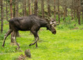 Moose in the swedish woods walking Stock Photography