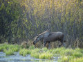 Moose wading through marsh area in alberta canada young alces alces marshland eating new spring vegetation Stock Photo