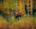 Moose - wild cow moose Royalty Free Stock Photo