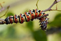 Mopane worm on leaf colourful eat hang green food Royalty Free Stock Photo
